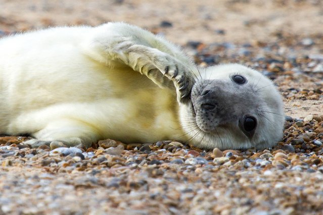Undated handout photo issued by The National Trust of one of the first seal pups of the season to have been born at the site of one of England's biggest colonies, Blakeney Point, on the north Norfolk coast. Grey seal numbers at Blakeney Point have grown steadily since 25 pups were born there 13 years ago. Last winter, 1,566 pups were born and with numbers increasing by about 25% each year, it is expected to become the biggest colony in England. (Photo by Justin Minns/PA Wire/The National Trust)