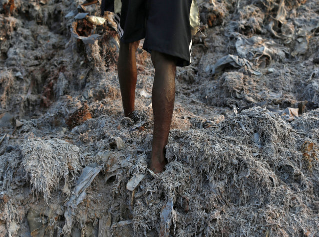 A laborer walks on a heap of scrap leather, which will be be burnt in an oven and made into fertilizer, at a factory in Kolkata February 14, 2014. Workers in the factory extract wet blue leather and recover a solid collagenic material containing high nitrogen levels, which can be used for the production of fertilizer. (Photo by Ahmad Masood/Reuters)