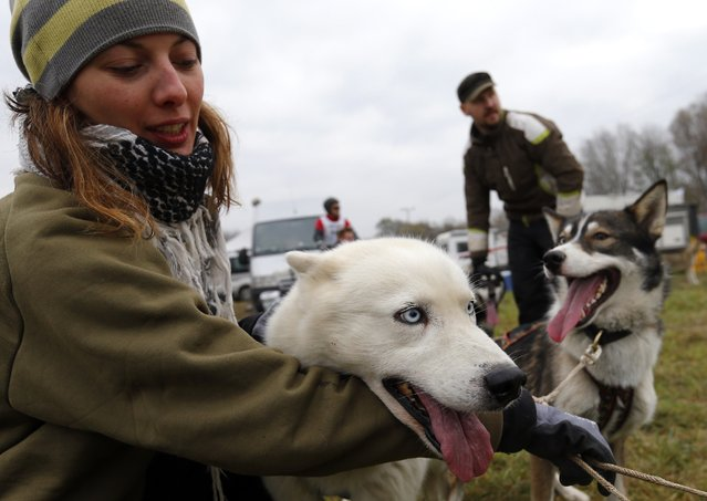 A girl and her dog attend a sled dog European Championship in Venek November 22, 2014. (Photo by Laszlo Balogh/Reuters)