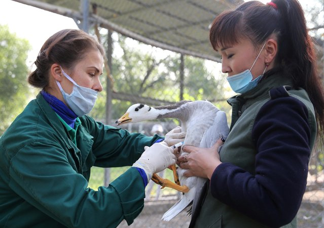 Zookeepers vaccinate a bar-headed goose at a zoo after Kazakhstan reported several outbreaks of highly pathogenic bird flu in the country, in Almaty, Kazakhstan on September 24, 2020. (Photo by Pavel Mikheyev/Reuters)