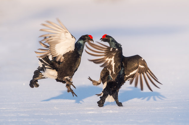 Black Grouse birds seen indulging in the courtship and mating rituals at dawn on February 23, 2018 in Hamra National Park, Sweden. German wildlife photographer Ingo Gerlach has captured the courtship and mating rituals of the Black Grouse, a large sedentary game bird found across Northern Eurasia. The striking feature of this bird is the bright red wattle over the eye of the larger all black males, while the females are smaller and brown-grey in colour. Also known as blackcock or black game, these birds are famous for the elaborate and distinctive courtship rituals performed by the males. Ingo captured this very phenomenon in the Hamra National Park in central Sweden. (Photo by Ingo Gerlach/Barcroft Media)