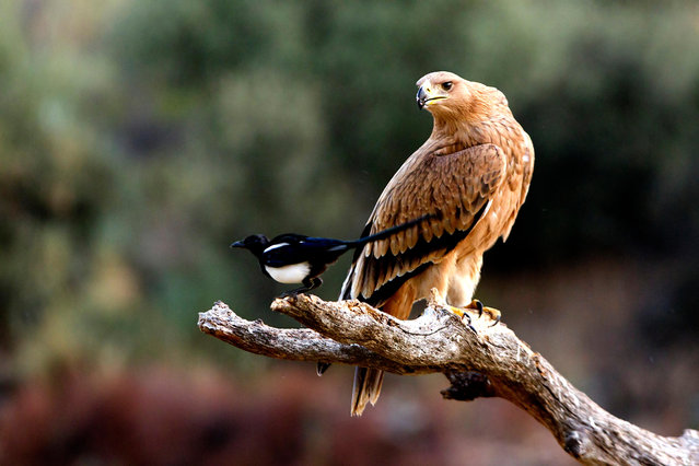 A young Spanish imperial eagle (Aquila adalberti) sits next to a magpie. (Photo by Alamy Stock Photo)