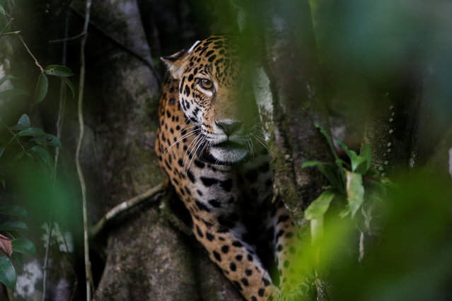 """Brazilian jaguars, imperilled by hunters, ranchers and destruction of their habitat, have learned to survive at least one menace – flooding in the Amazon. They take to the trees. Although they can be six feet long and 200 pounds, the largest South American cats nimbly navigate treetops where they stay from April to July when the rainforest floor is under meters-deep water. """"It shows that even as a large animal, the jaguar can withstand the flooding – feeding, breeding and raising its young in the treetops for three to four months"""", says Emiliano Ramalho, the lead researcher for Project Iauarete, which is administered by the Instituto Mamirauá. """"This had never been documented before we began researching the jaguars here"""". The Iauaretê Project monitors jaguars in Mamirauá, studies their relationship with local residents and undertakes conservation for the species, which lives deep in the rainforest. Documenting jaguar behavior during the rainy season is rare, with their long-term stays in the treetops first recorded by the researchers in 2013 after nine years of monitoring in the region. Called """"painted jaguars"""" in Brazil because of their intricately spotted fur, jaguars are difficult to see in the dense jungle canopy. Researchers discovered their behavior after nearly a decade of studying them from floating bases, braving the same conditions that put flood waters at the doorsteps of more than 10,000 people living in the Mamirauá reserve. On one expedition last month, researchers with headlamps tracked down and tranquilized a black male jaguar at night, placed his limp body on a blue tarp and wrapped his head in a towel as they fitted him with a black tracking collar, measured his teeth and checked his vitals. So many jaguars have been fitted with trackers that researchers can now pinpoint them by holding up pronged radio receivers as they pilot small boats through the flooded forest. Ramalho says that understanding this behavior is further evidence supporting the nee"""