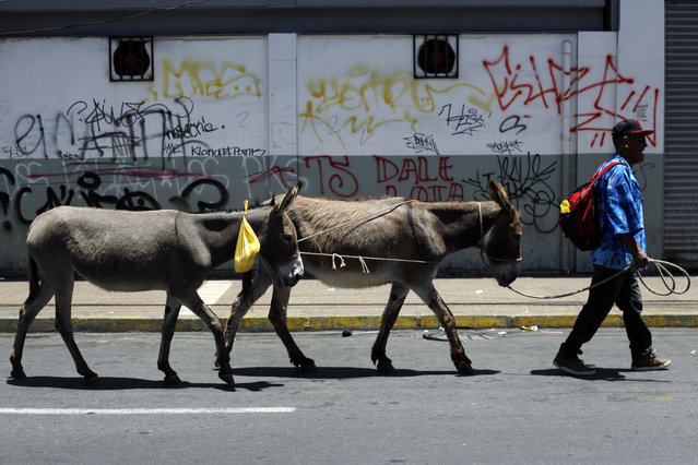 Marco Alegria leads his donkeys along a street, selling their milk on the spot for paying customers in Santiago, Chile, Monday, December 15, 2014. (Photo by Luis Hidalgo/AP Photo)