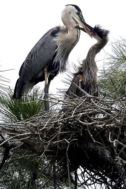 A young great blue heron tries to coax some food from its mother as the two sit in their nest at Pendarvis Cove Park in Palm City. (Photo by Paul J. Milette/The Palm Beach Post)