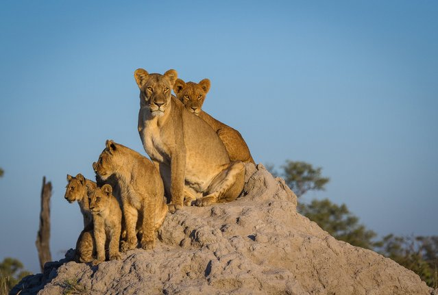 "This pride of lions resides in the North East of Botswana, in the private Selinda concession. The photographer believes, ""these lionesses are without a doubt some of the biggest and healthiest in Africa. The beautiful morning light and elevated position makes us look up to the queens and future kings of the Africa"". (Photo by Chris Renshaw)"