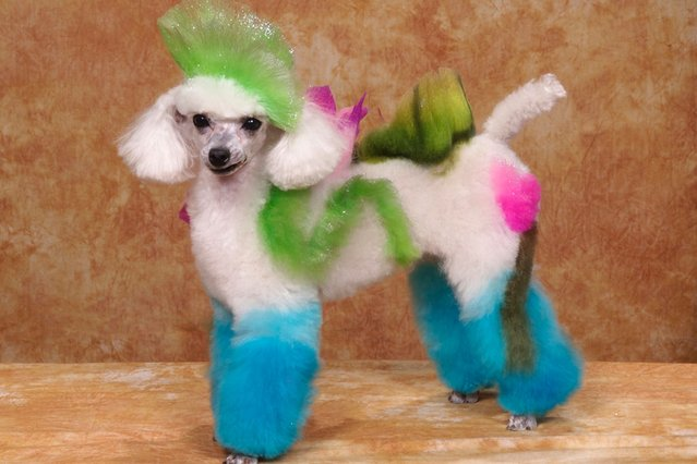 A dog with a flower design at a creative grooming competition in Hershey, Pennsylvania. (Photo by Ren Netherland/Barcroft Media)