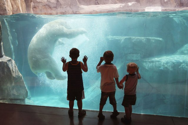 Hudson, a polar bear, cools down by playing with a block of ice during a swim in his enclosure at Brookfield Zoo in Illinois, on July 19, 2013. A heat wave continues to grip much of the country. (Photo by Scott Olson/Getty Images)