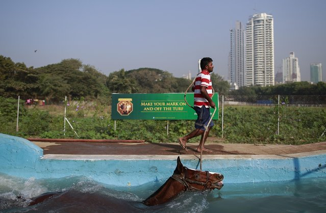 A groom leads his horse in the equine pool after working out on the track, during early morning workouts for the upcoming Derby race in Mumbai January 29, 2015. (Photo by Danish Siddiqui/Reuters)