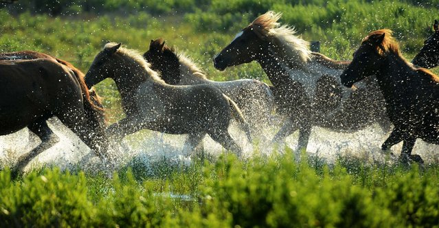 Chincoteague Ponies are driven to their holding pen during the South Herd Roundup on Assateague Island. (Photo by Jay Diem/Eastern Shore News)