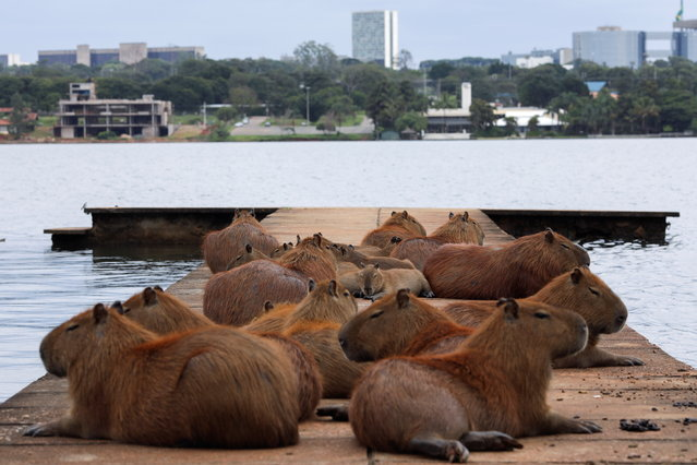 Capybaras are seen at a pier on Paranoa lake, amid the coronavirus disease (COVID-19) outbreak, in Brasilia, Brazil, March 18, 2021. (Photo by Ueslei Marcelino./Reuters)