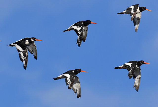 Thousands of wading birds, including Oystercatcher, fly onto dry sandbanks during the month's highest tides at The Wash estuary, near Snettisham in Norfolk, Britain, September 13, 2018. (Photo by Toby Melville/Reuters)