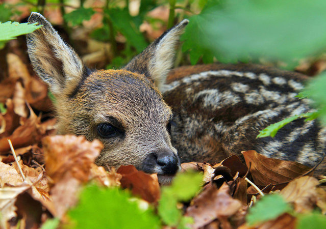 Fawn shelters in the undergrowth. (Photo by Adam Tatlow/BNPS)