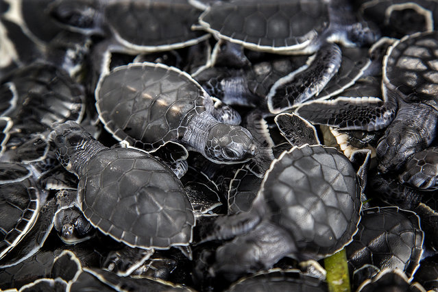 Green turtle hatchlings wait to be released  into the Altantic Ocean near Boca Raton. Coast Guard officials helped Melanie Stadler, a marine scientist with Gumbo Limbo Nature Center, release almost 500 sea turtle hatchlings into the sargassum. (Photo by Greg Lovett/The Palm Beach Post)