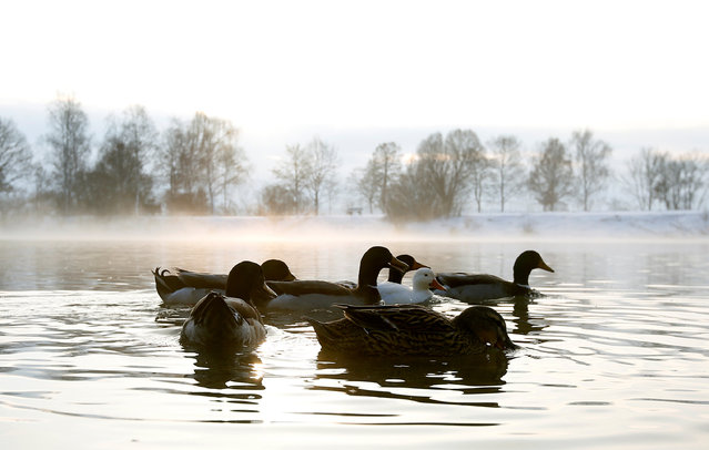 Ducks swim in the early-morning hour in a little lake in Eichenau near Munich, Germany January 3, 2017. (Photo by Michaela Rehle/Reuters)