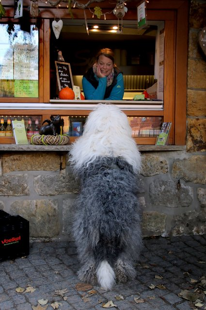 One of the sheepdogs pretends to order at a cafe. (Photo by Cees Bol/Caters News Agency/Mercury Press)