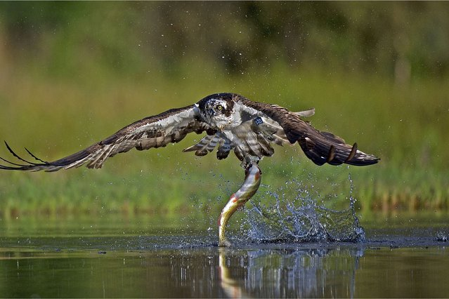 Neil MacGregor's amazing shot of an osprey swooping down for the catch of the day. (Photo by Scottish Seabird Centre)
