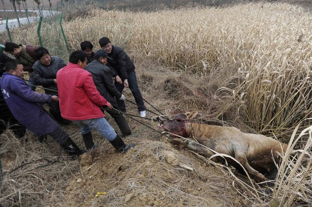 Farmers pull the carcass of a cow, which escaped from a truck and was killed by policemen, in Liangdun village of Nangang township, Anhui province December 15, 2013. (Photo by Reuters/China Daily)
