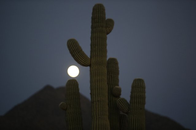 A full moon rises over a cactus in Phoenix, Arizona February 2, 2015. (Photo by Lucy Nicholson/Reuters)