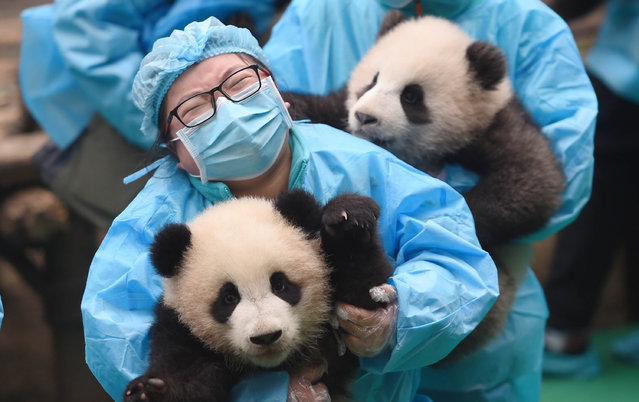 Giant panda cubs and their keepers attend an event to celebrate upcoming Chinese New Year in Chengdu Research Base of Giant Panda Breeding in Chengdu, capital city of southwest China's Sichuan Province, January 20, 2017. A total of 23 cubs born in the base in 2016 were seen on Friday's event. (Photo by Xue Yubin/Xinhua/Barcroft Images)