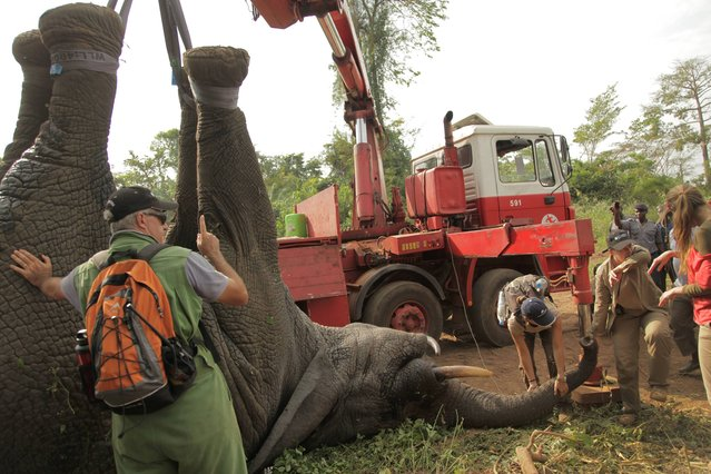 In this photo taken Monday, January 20, 2014 and distributed by the International Fund for Animal Welfare, a tranquilized elephant is loaded onto a truck near the town of Daloa in western Ivory Coast. Conservationists are capturing and relocating elephants in Ivory Coast forced out of their traditional habitat by encroaching humans, in the first such operation attempted in Africa's forests. (Photo by AP Photo/IFAW)