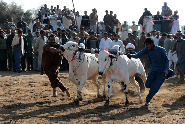 Men guide bulls as they start down the track at a bull race in Pind Sultani, Pakistan January 31, 2017. (Photo by Caren Firouz/Reuters)