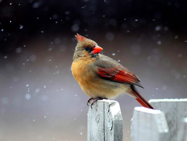 A cardinal perches on a fencepost as snow flurries swirl around it in the first snowfall of the season in Greer, South Carolina, on January 28, 2014. (Photo by Tom Priddy/Spartanburg Herald-Journal)