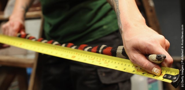 Zookeepers measure the length of a pueblan milk snake