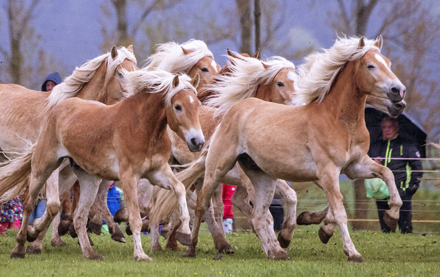 Haflinger horses run during this years's first turn-out to grass at Europe's largest Haflinger stud-farm in Meura, Germany, Sunday, April 28, 2019. More than 300 Haflinger horses are living there. (Photo by Jens Meyer/AP Photo)