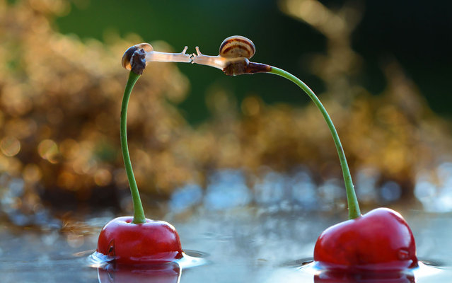 """Photo shows two """"kissing"""" snails on the stems of two cherries in Ukraine. (Photo by Vyacheslav Mischenko/Caters News)"""