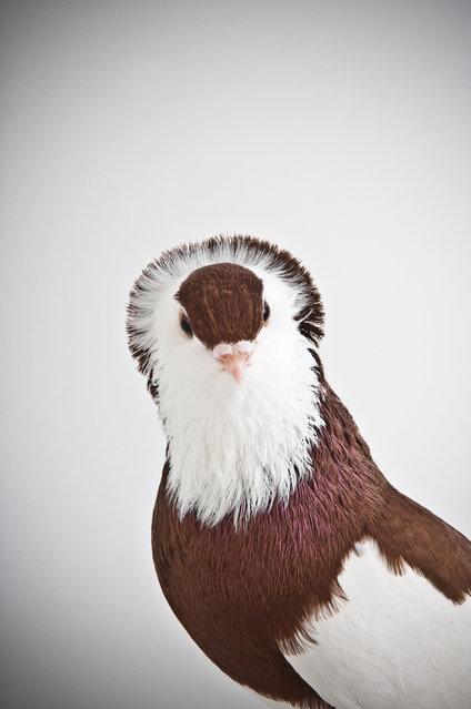 Felegyhazer. Darwin's Pigeons series. (Photo by Photo by Richard Bailey/Caters News)