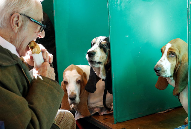 A man eats in front of his Basset Hounds during the first day of the Crufts Dog Show in Birmingham, Britain March 9, 2017. (Photo by Darren Staples/Reuters)