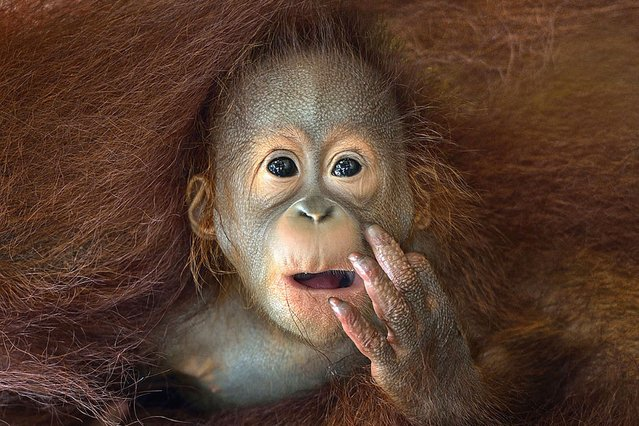 A baby Orang Utan peeking out from his mother's embrace. (Photo by Sony World Photography Awards)