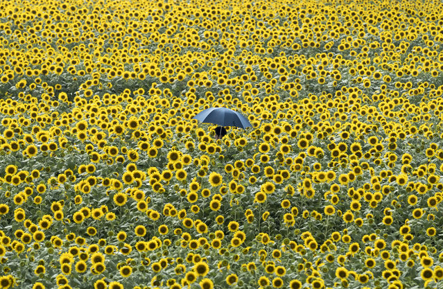 A man walks through a sunflower field on August 11, 2019 in Hokuto, Yamanashi, Japan. Japan's annual summer holiday season known as Obon (or Bon) starts from August 13, accompanied by domestic and international travel activities. (Photo by Tomohiro Ohsumi/Getty Images)