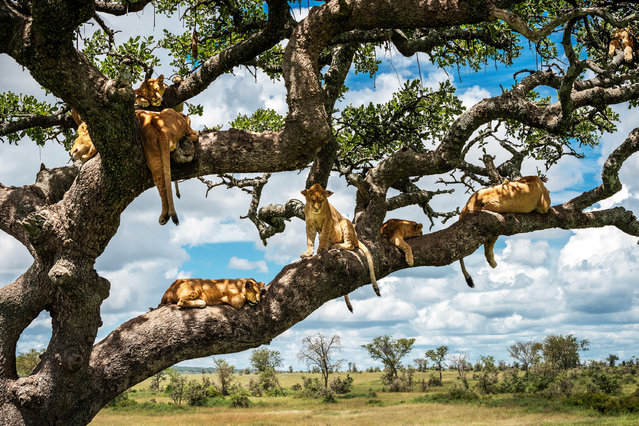 Lions in a tree. Not usually known for their love of heights this family of lions have been captured lazing in a tree, risking their pride before a fall. Stunning shot show the family of lions spread out across different branches as they try to take a cat nap. The striking pictures were taken in Serengeti, Tanzania by financer David Chen (42), from Kfar Saba, Israel. (Photo by David Chen/Media Drum World)