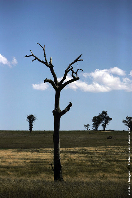 A dead tree in a paddock stands near Obley Road