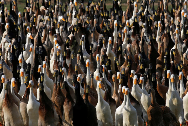 Indian Runner ducks march past farm buildings at the Vergenoegd wine estate near Cape Town, South Africa, May 16, 2016. (Photo by Mike Hutchings/Reuters)