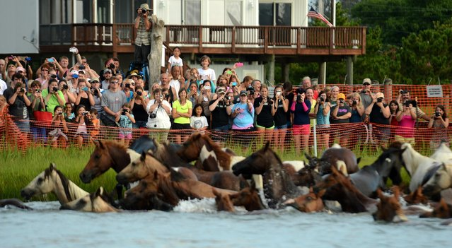 Spectators take photographs of the Chincoteague Pony herd as it makes landfall after the 90th annual Pony Swim on Wednesday, July 29, 2015. (Photo by Jay Diem/The Daily Times via AP Photo)