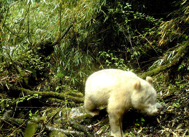 This handout photograph taken on April 20, 2019 and released by the Wolong National Nature Reserve on May 26, 2019 shows a rare all-white giant panda in the Wolong National Nature Reserve in Wenchuan County, southwest China's Sichuan province. A rare all-white panda was caught on camera at a nature reserve in southwestern Sichuan province, showing that albinism exists among wild pandas in the region, reported state media. (Photo by Handout/Wolong National Nature Reserve/AFP Photo)
