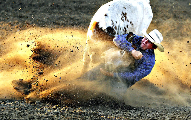 Wyatt Smith of Rexburg, Idaho, slides in the dirt as he pulls down a steer for a time of 4.3 seconds during the steer wrestling competition at Greeley Stampede Arena on Tuesday, July 1, 2014, in Greeley, Colo. (Photo by Jim Rydbom/AP Photo/Greeley Tribune)