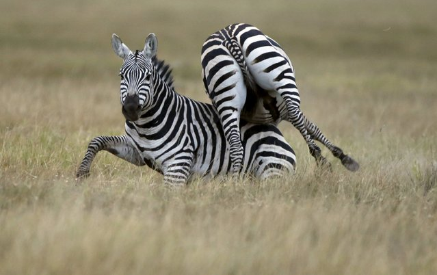 Zebras tussle in Amboseli National park, Kenya, August 9, 2015. (Photo by Goran Tomasevic/Reuters)