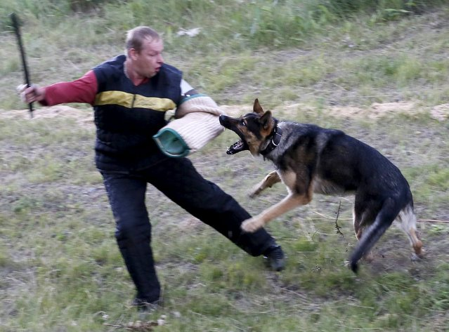 A German shepherd dog attacks a trainer during an annual cynologist competition for members of the regional penitentiary camps system outside the Siberian city of Krasnoyarsk, Russia, August 14, 2015. Teams representing all prison camps of the Krasnoyarsk region took part in a five-day-long competition. (Photo by Ilya Naymushin/Reuters)