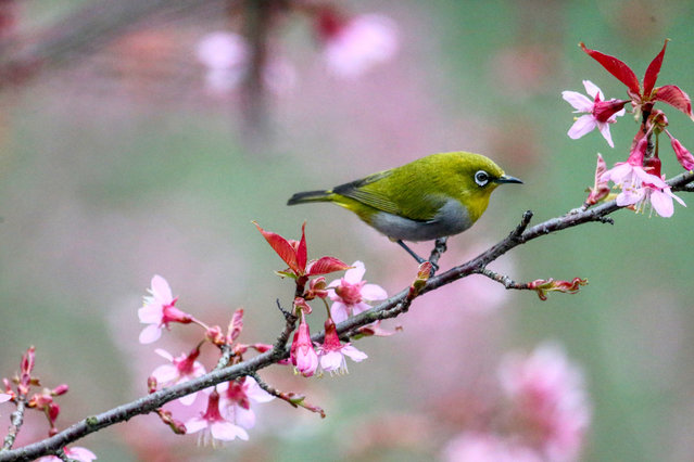 A white-eye bird stops on a blooming winter cherry branch in Guiyang, Guizhou Province, China. (Photo by Costfoto/Barcroft Media)