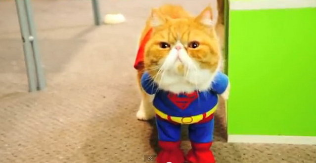 Squash-Faced Cat Dressed as Super Hero