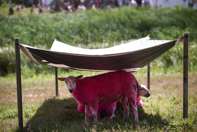 Pink sheep shelter from the sun on a hot afternoon at the Latitude festival, Henham Park in Southwold, Suffolk on July 17, 2016. (Photo by James Gourley/Rex Features/Shutterstock)
