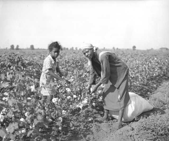 A woman and a young girl pick cotton by hand in Stoneville, Miss., September 1, 1936. (Photo by AP Photo)