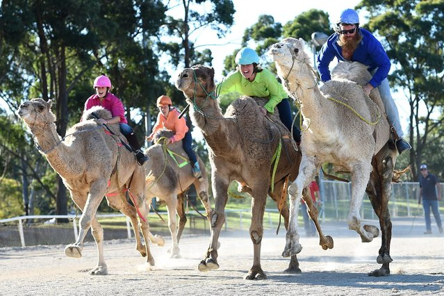 """Cameleers compete in a race during the Sydney Camel Racing Carnival, at Bankstown Paceway, in Sydney, Australia, 26 July 2016. The annual three-day event features one-humped Dromedary camels who are competitively ridden by camel jockeys, known as """"cameleers"""". (Photo by Dan Himbrechts/EPA)"""