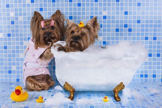 Bathtime for these little pups. (Photo by Svetlana Valyiskaya/Mercury)