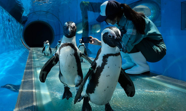 Cape penguins walks past a keeper taking their video images at an aquarium of Hakkeijima Sea Paradise, which is closed amid the COVID-19 coronavirus pandemic, in Yokohama on May 8, 2020 as part of a theme park's project to deliver the state of animals through official website and SNS. (Photo by Kazuhiro Nogi/AFP Photo)