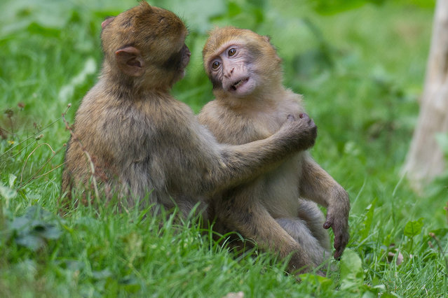 Two Barbary apes at the animal park which city authorities want to close, in Burg Stargard, Germany, 8 September 2015. (Photo by Stefan Sauer/DPA via ZUMA Press)